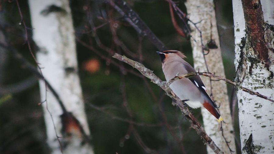 Close-up of cardinal perching on tree