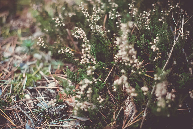 Heather Flowers,Plants & Garden Green Nature Plant Romantic Botanical Close Up Flowerporn Flowers Flowers, Nature And Beauty Forest Ground Groundcover Heather In The Forest Indie Mood Nature Porn Pine Needles Wallpaper Wild Plant
