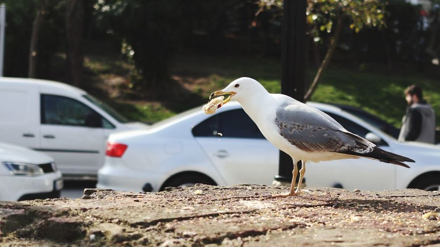 Animals In The Wild Animal Animal Themes Vertebrate Animal Wildlife Bird Motor Vehicle Mode Of Transportation Transportation Car One Animal Day Focus On Foreground Nature No People Side View Seagull Land Vehicle Road Outdoors
