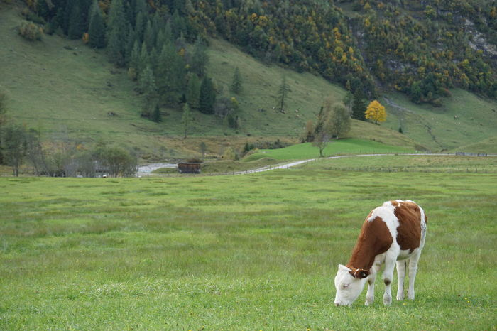 beautiful landscape with little calf Green Kuh Animal Themes Beauty In Nature Calf Cattle Cow Day Domestic Animals Field Full Length Grass Grazing Green Color Kälbchen Landscape Livestock Mammal Nature No People One Animal Outdoors Pasture Pets Rural Scene Tree The Great Outdoors - 2018 EyeEm Awards A New Beginning
