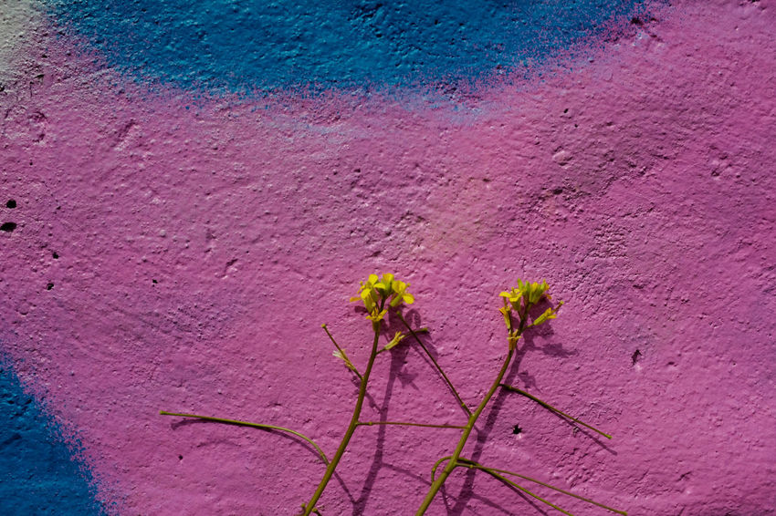 Pink / blue / yellow. Graffiti Pink Wall Blue Close-up Colour Colour Combination colour of life Colours Of Autumn Flower Flower Head Flowering Plant Flowers Graffiti Art Growth High Angle View Nature Petal Pink Color Plant Yellow