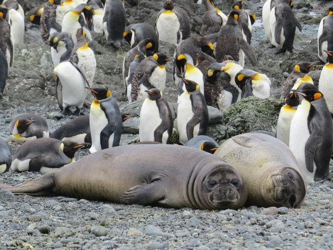 Elephant Seals and King Penguins Sub Antarctics Wildlife King Penguin Macquarie Island Elephant Seals Pups Animals In The Wild Animal Wildlife Large Group Of Animals Nature Animal Themes No People Outdoors Colony Aquatic Mammal Bird