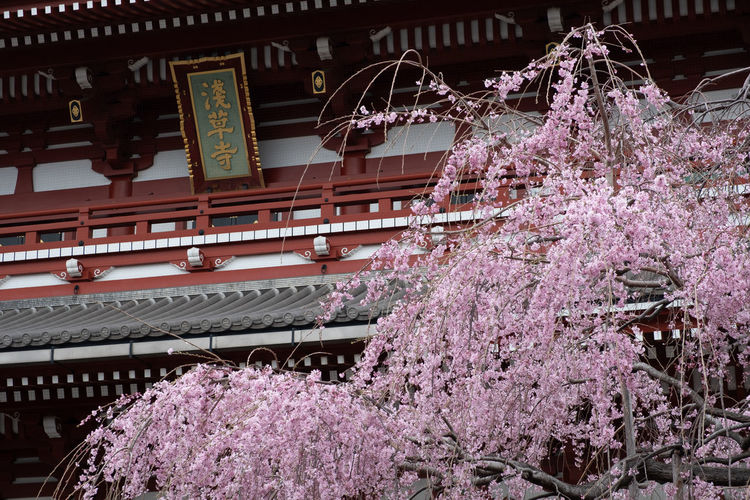 Architecture Plant Building Exterior Built Structure Flower Flowering Plant Growth Tree Blossom Nature Springtime Low Angle View Building Freshness Cherry Blossom Fragility No People Pink Color Day Place Of Worship Outdoors Cherry Tree Plum Blossom Shrine Asakusa Tokyo Japan