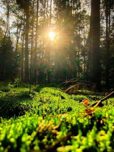 Lush green moss in a forest bathing in the Golden glow of the setting or rising sun visible through the trees Growth Plant Sunlight Tree Beauty In Nature Green Color Nature Tranquility Land Lens Flare Tranquil Scene Day Sun No People Landscape Field Sunbeam Scenics - Nature Outdoors Sunny