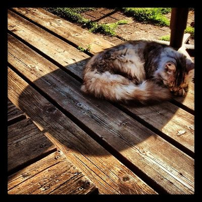 My sister's Cat Teetee Soaking  up some Shade from the Hot Sun Parkroseoregon DroidRazr
