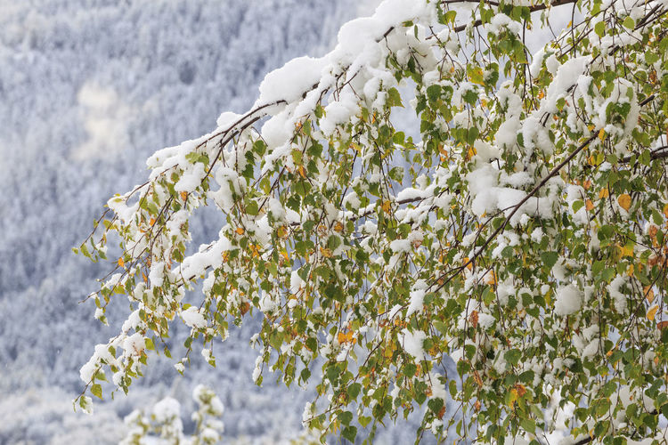 Close-Up Of White Flowering Plants On Snow Covered Tree