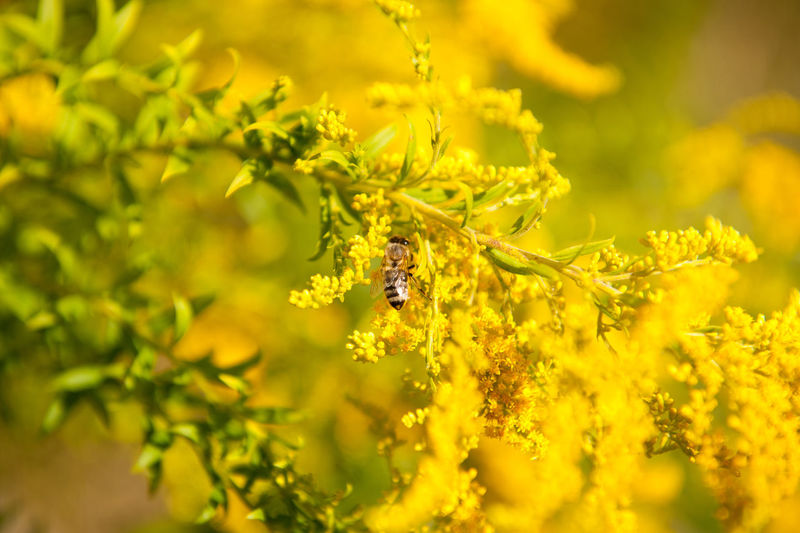 Bee pollinates Solidago virgaurea or Goldenrod or Woundwort yellow herb flowers, zoom on honeybee taking nectar in plenty bushy bee plants with rampant inflorescences, horizontal orientation, photo taken in Poland, early autumn season. Animal Autumn Bee Bloom Blooming Blossoming  Flower Flowering Flowers Goldenrod Herb HoneyBee Inflorescence Insect Nature Nectar Perennial Plant Pollen Pollinate Pollination Solidago Paint The Town Yellow Woundwort Yellow