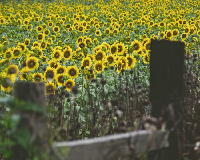 Fence with Sunflowers Yellow Growth Beauty In Nature Plant No People Selective Focus Nature Day Field Flower Land Flowering Plant Outdoors Flower Head Backgrounds