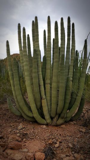 Cactus plant growing on field against sky