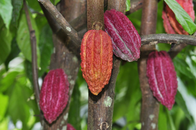 cacao fruits on tree Plant Growth Close-up Beauty In Nature Nature Focus On Foreground No People Tree Day Freshness Flower Red Outdoors Flowering Plant Pink Color Branch Fragility Plant Part Vulnerability  Leaf