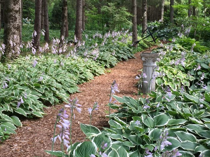 Hostas in botanical garden, Ontario Canada Ontario Woodland Path WoodLand Hostas Botanical Gardens Forest Plant Nature Flower No People Outdoors Flowerbed