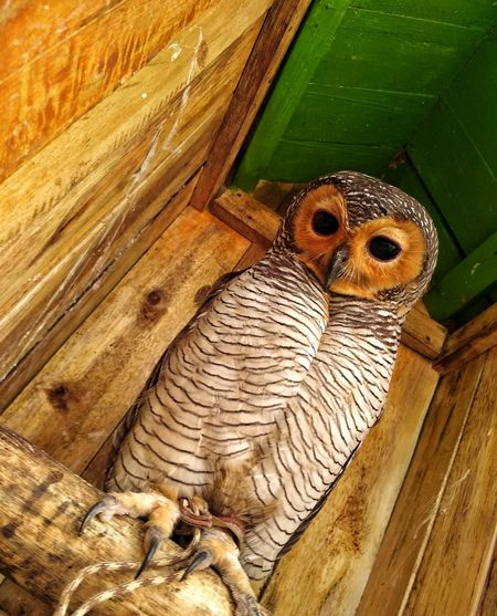 One Animal Wood - Material Animal Themes Indoors  No People Animals In The Wild Close-up Day Mammal Nature Owl Owl Photography Pet Portraits