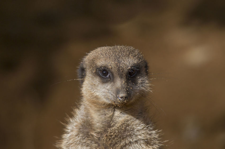 One Animal Animal Wildlife Animals In The Wild Mammal Meerkat Portrait Vertebrate Close-up No People Focus On Foreground Looking At Camera Animal Body Part Day Outdoors Alertness Nature Whisker Animal Eye