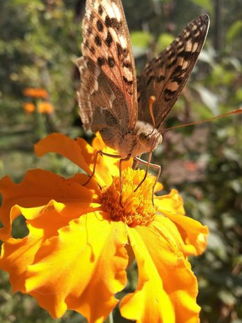 Flower Head Flower Pollination Butterfly - Insect Insect Petal Close-up Animal Themes Plant