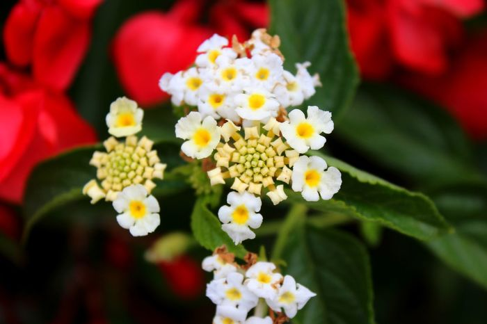 Flower Freshness Lantana Petal Beauty In Nature Flower Head Close-up Multi Colored Springtime Leaf Symmetry In Nature White Flowers