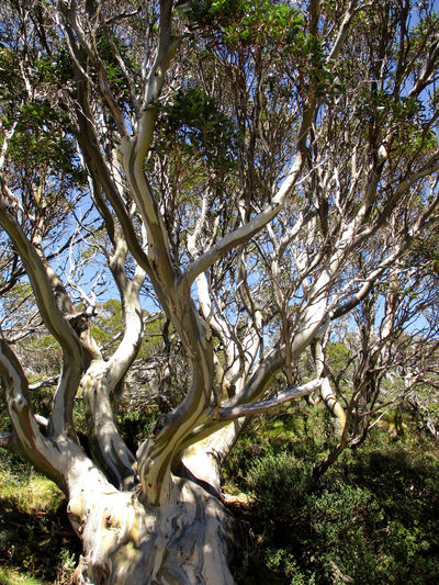 Snow Gums are