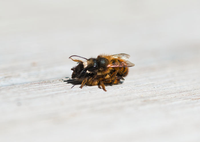 Close-up of bee on wooden table