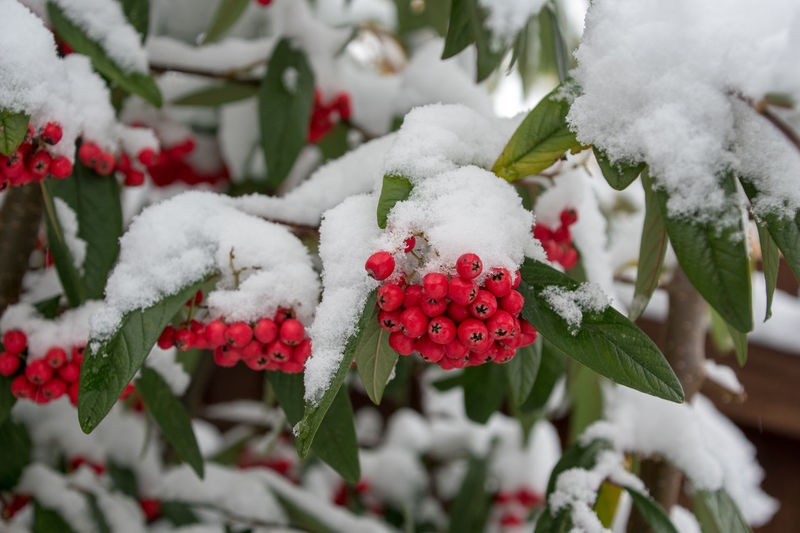 Cotoneaster cornubia tree berries covered in snow Berries Beauty In Nature Close-up Cold Temperature Cornubia Cotoneaster Day Focus On Foreground Food And Drink Freshness Frozen Fruit Nature No People Outdoors Red Snow Tree White Color Winter