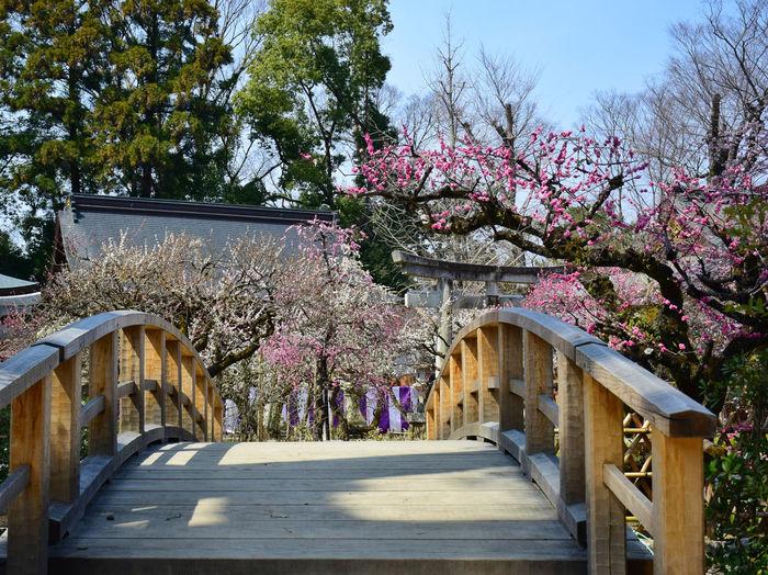 Kitano Tenmangu Shrine (北野天満宮) ASIA Beautiful Elegant Japan Nature Pink Plum Blossom Pray Shrine Tenman-gu Beauty In Nature Blossom Flowers Kitanotenmangu Kyoto Pink Color Plum Popular Temple Ume