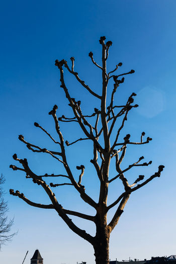 Sky Tree Plant Blue Low Angle View Bare Tree Branch No People Clear Sky Nature Tranquility Beauty In Nature Day Outdoors Growth Scenics - Nature Silhouette Sunlight Dead Plant Tranquil Scene Blue Sky Platano