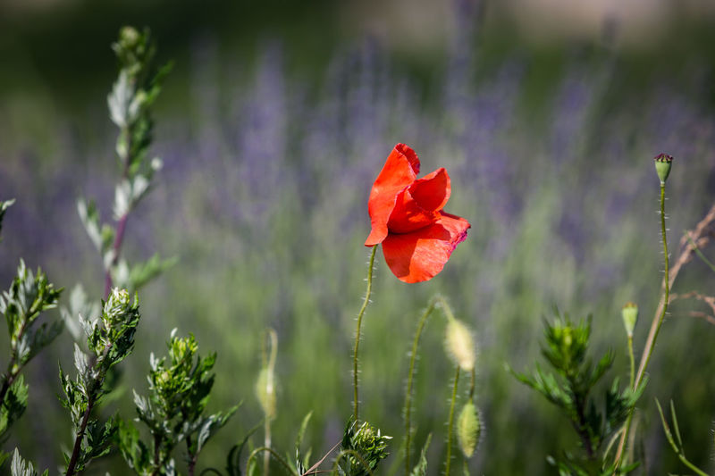 Sault, the undiscovered capital of lavender. Beauty In Nature Close-up Day Field Flower Flower Head Flowering Plant Fragility Freshness Growth Inflorescence Land Nature No People Outdoors Petal Plant Plant Stem Poppy Purple Red Selective Focus Vulnerability