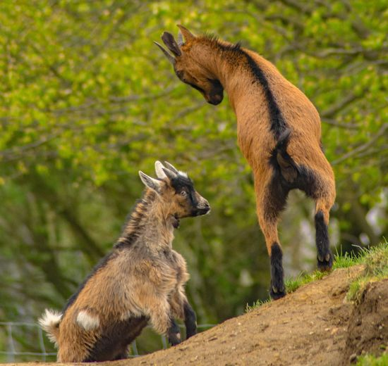 Two Animals Animals In The Wild Animal Themes Animal Wildlife Mammal No People Nature Day Focus On Foreground Young Animal Outdoors Togetherness Standing Tree Goats Farm Life Pair Of Goats Farm Yard
