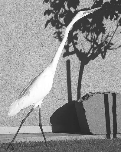 GreatEgret Lurking Urbanwildlife Blackandwhite Creative Light And Shadow Shades Of Grey