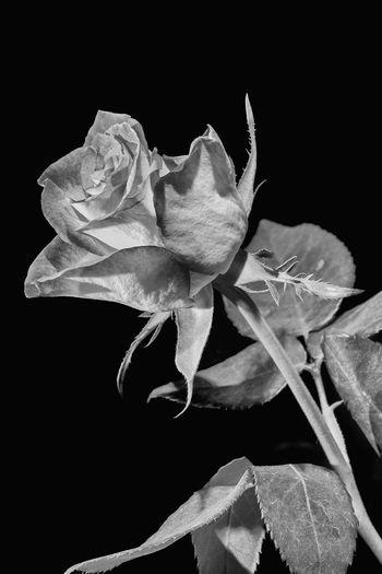 Flower Black