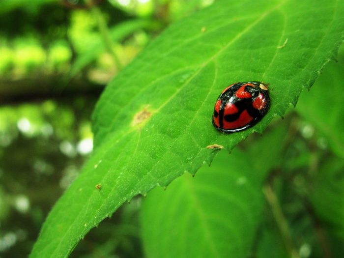 Green Green Color Plant Close-up Insect Ladybug Leaf Nature No People Outdoors Plant