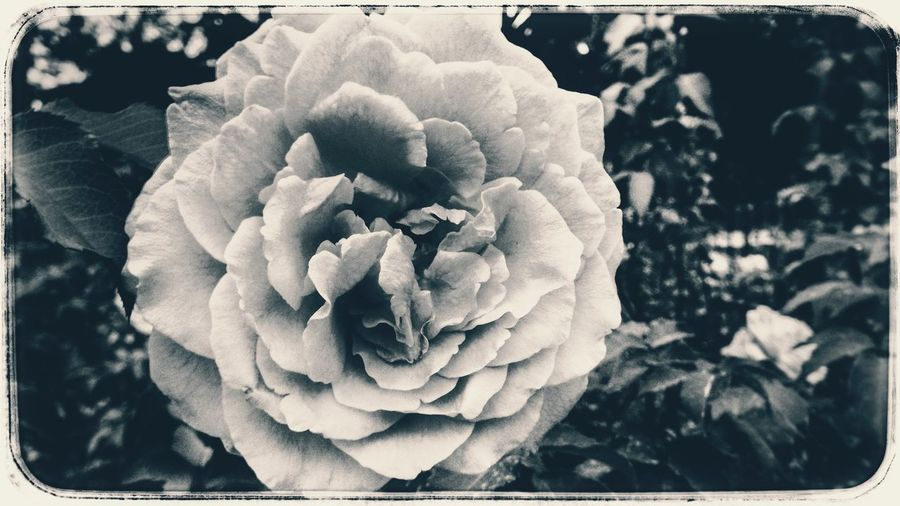 Photography Floral Art Vintage Flower Flower Rosé Garden Flowering Bloom Vintage Floral