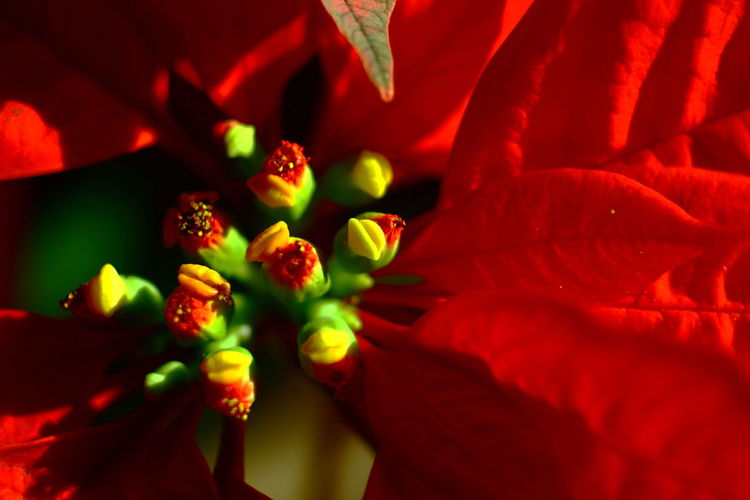 Beauty In Nature Christmas Decorations Christmas Flower Poinsettia Christmas Red Plant Christmastime Close-up Flower Flower Head Red Red Flower Traditional Noel Plant étoile De Noël