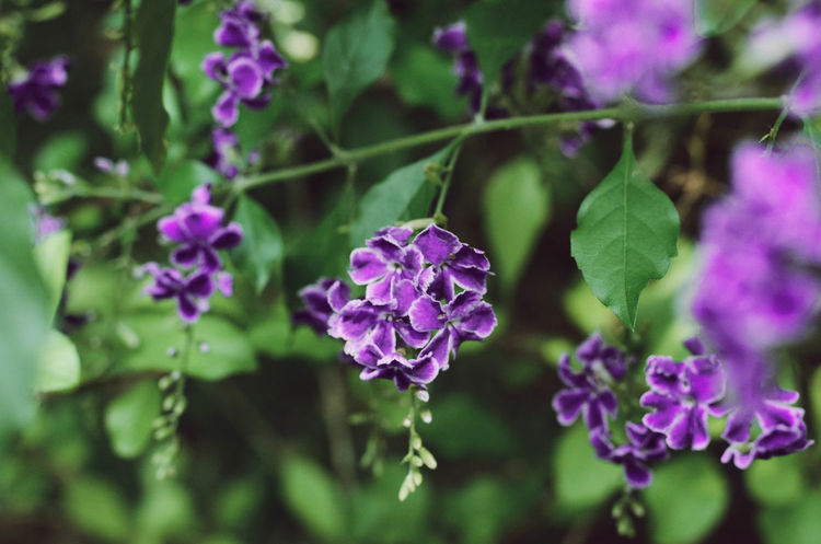 DURANTA Flower Garden Beautiful Flowers Day Duranta Flower Flowering Plant Flowers Purple Purple Flower