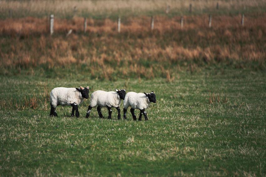 Lamb Scotland Animal Animal Family Animal Themes Domestic Domestic Animals Field Grass Group Of Animals Herbivorous Land Livestock Mammal Nature Sheep Three