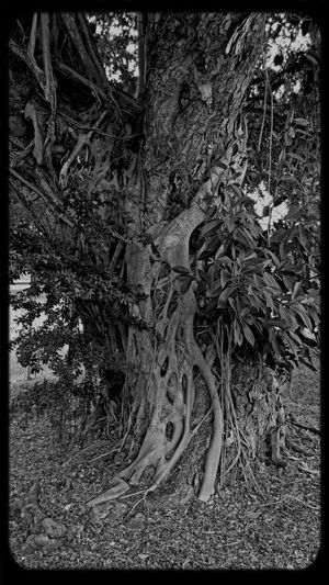 Intertwined. I've been missing Treegasmic Tuesday Fortheloveofblackandwhite For My Friends That Connect Monochrome