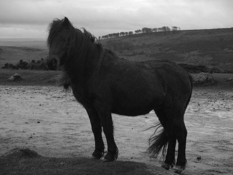Animal Themes Beauty In Nature Day Field Horse Mammal Mane No People One Animal Outdoors Pony Scenics Standing Black And White Photography Black And White Blackandwhite Horse Photography  Horses