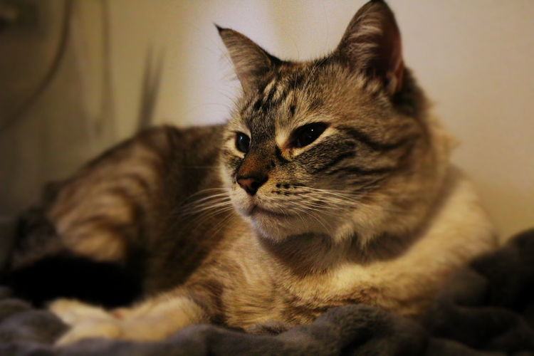 Khaleesi Cat