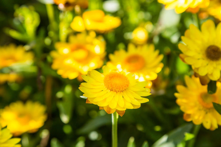 Yellow Flowers Shallow Depth Of Field Straw Flower Beauty In Nature Blooming Close-up Day Flower Flower Head Fragility Freshness Growth Nature No People Outdoors Petal Plant Strawflower Yellow