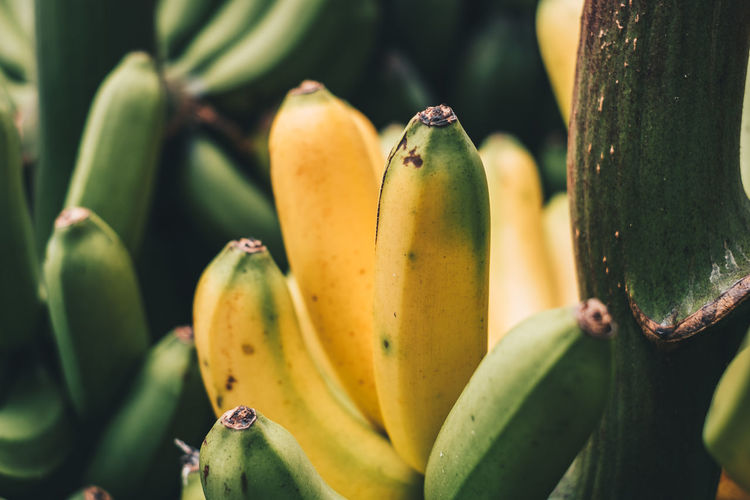 freshly picked organic raw banana, copy space Fruit Healthy Eating Plant Growth Close-up Green Color Food And Drink Food No People Freshness Banana Tree Day Nature Wellbeing Beauty In Nature Outdoors Yellow Selective Focus Ripe Banana Raw Vegan Vegetarian Fruitarian Green Color Harvest Produce Crop  Agriculture Philippines Tropical Photography Still Life Light And Shadow Potassium Sweet Natural Organic Fresh Lifestyles Healthy Food Nutritious Favorite Breakfast Lakatan