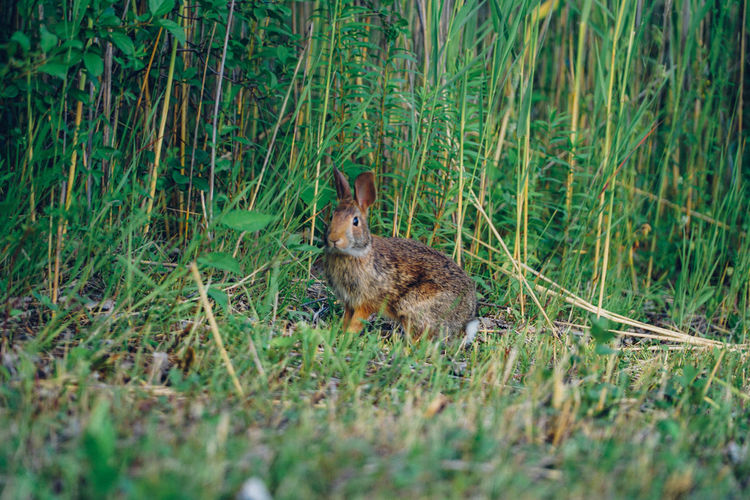 Side view of rabbit sitting on grassy field