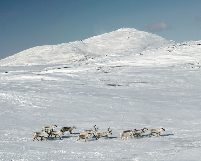 Scenic view of snow covered mountain and reindeer against sky