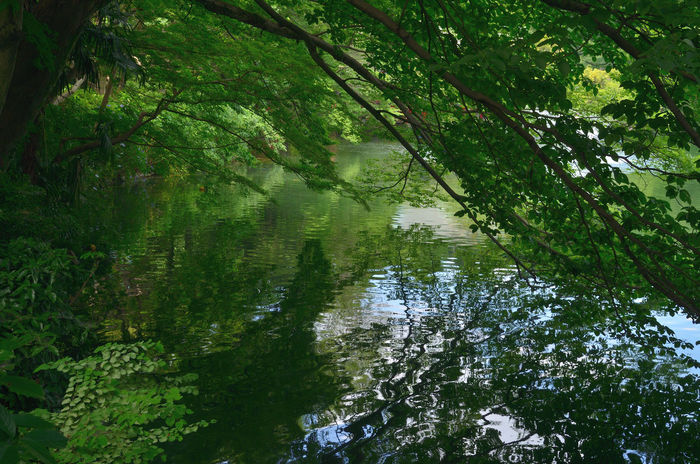 Inokashira pond Beauty In Nature Forest Green Green Color Growing Growth Idyllic Inokashira Park Landscape Nature Outdoors Pond Reflection Scenics Standing Water Tranquil Scene Tranquility Tree Water WoodLand