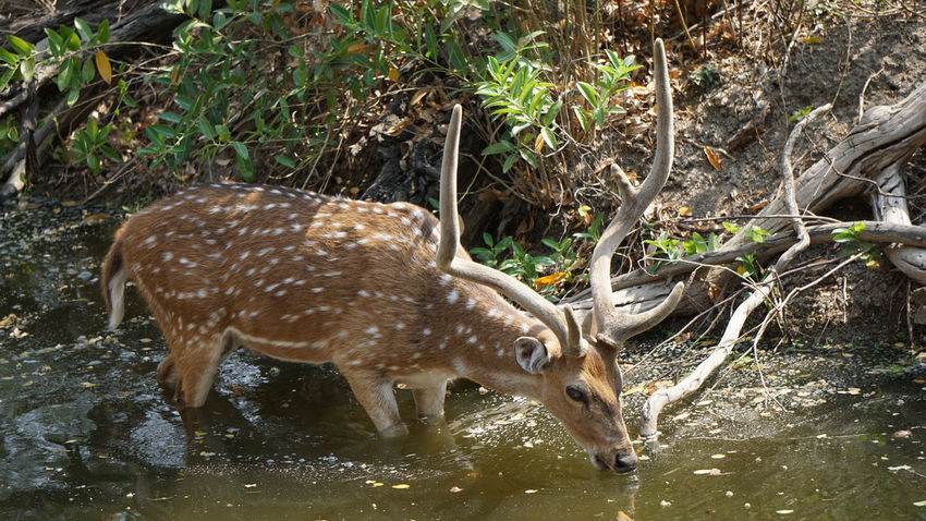 The sika deer drinking water from a water canal Nature Animals In The Wild One Animal Environment Animal No People Animal Wildlife Water Animal Themes Outdoors Day Mammal Sikadeer Japanese Deer Spotted Deer Sonyalpha Nwin Photography SonyAlpha6000