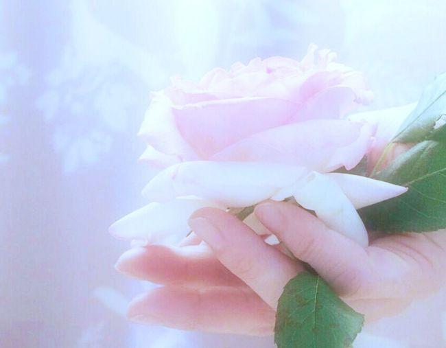 どうぞ🌹 薔薇 Rose Collection Rose - Flower Flower Collection EyeEm Nature Lover Pink Color EyeEm Best Shots EyeEm Gallery Eyemphotography Human Hand Portrait Photography Portrait Self Portrait Beauty In Nature Thats Me