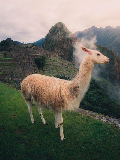 Wow a llama! EyeEm Selects Animal Animal Themes Vertebrate Livestock Domestic Animals Mammal Llama Sky One Animal Mountain Nature Grass Field Plant Land Standing Domestic Pets Beauty In Nature No People