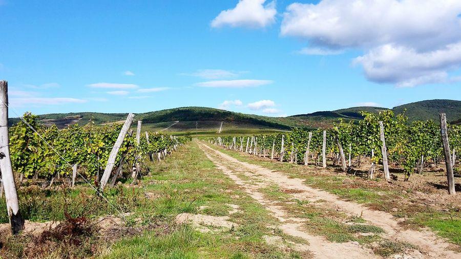 Agriculture Cloud - Sky Field Rural Scene Winemaking Wine Sky Outdoors Nature Tokaj Wine Region Wineyard Grapes For Wines Grapes 🍇 EyeEmNewHere This Is Queer
