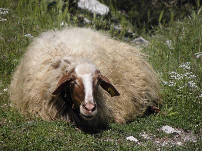 Cloak Fiber Natural Fibers Close-up Natural Fiber Natural Solar Energy Sunny Day Sleeping Sheep Day Outdoors No People Field Grass One Animal Mammal Animal Themes Wool Nature Lazy Day Shearing EyeEmNewHere Pet Portraits