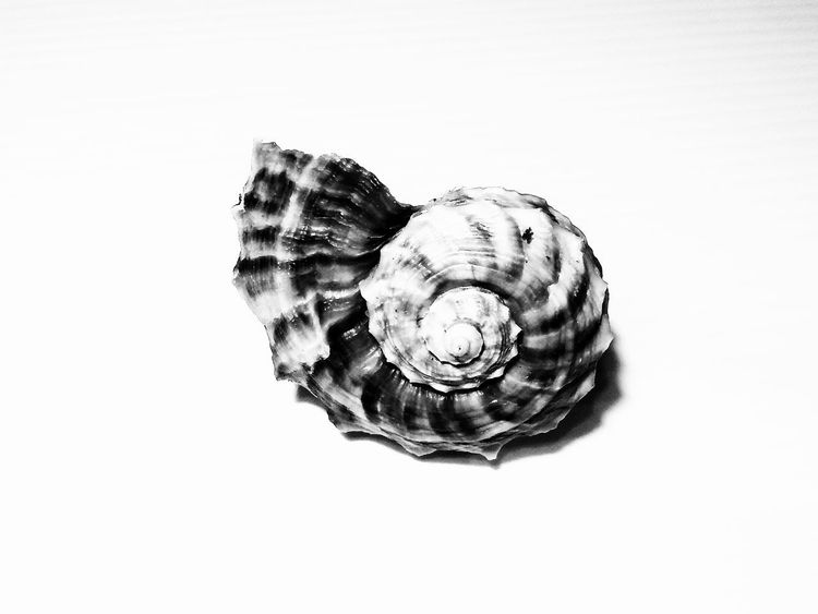 Seaside Shells And Rocks Stone Sea Rocks And Shells Shells🐚 Beach Shelll Isolated Sea Shelll White Background Concentric Close-up Shell Spiral Geometric Shape Seashell Animal Shell