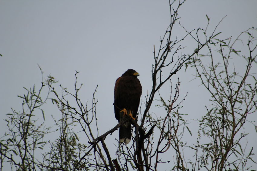 Adventure Animal Themes Animals In The Wild Balance Bare Tree Beak Bird Branch Clear Sky Escapism Focus On Foreground Getting Away From It All Harris Hawk  Hawk Low Angle View Nature No People One Animal Outdoors Perching Wildlife Zoology