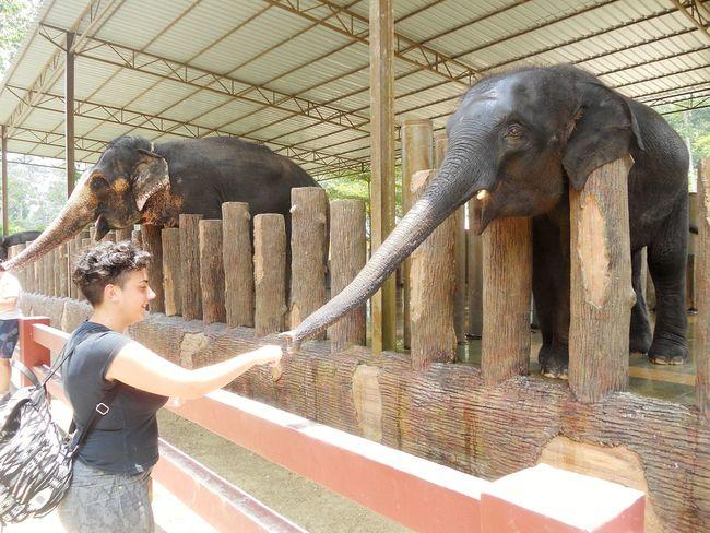 The Tourist Malaysia Taman Negara Elephant Sanctuary Elephant Awesome