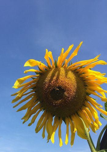 Endofsummer Flowerpower Vangogh Sunflower